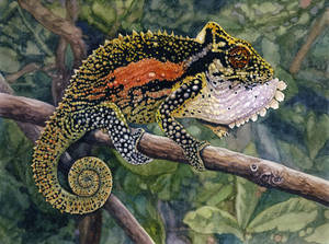 Natal Midlands Dwarf Chameleon