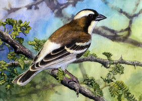 Whitebrowed Sparrow-Weaver by WillemSvdMerwe