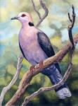 Redeyed Dove