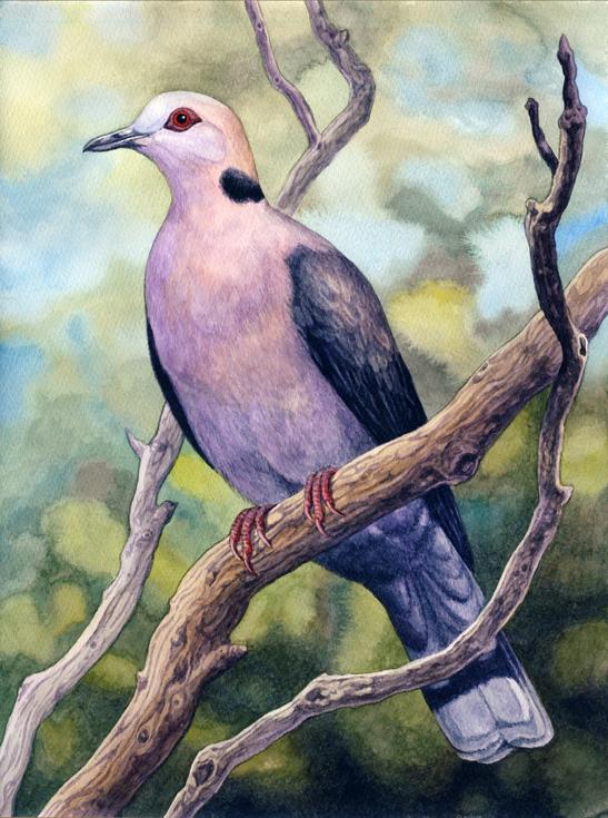 Redeyed Dove by WillemSvdMerwe