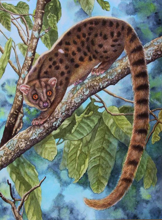 African Palm Civet by WillemSvdMerwe