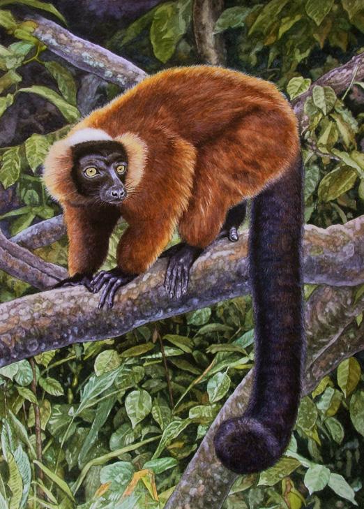 Red Ruffed Lemur by WillemSvdMerwe