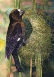 Thickbilled Weaver
