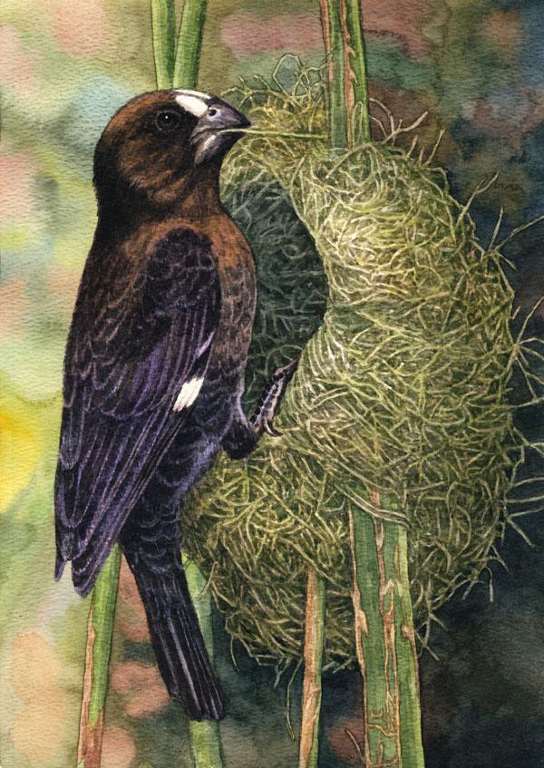 Thickbilled Weaver by WillemSvdMerwe