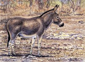 Equus africanus by WillemSvdMerwe