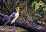 White-Necked (or Bare-Headed) Picathartes