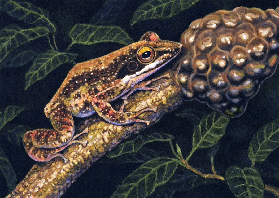 Kloof Frog by WillemSvdMerwe