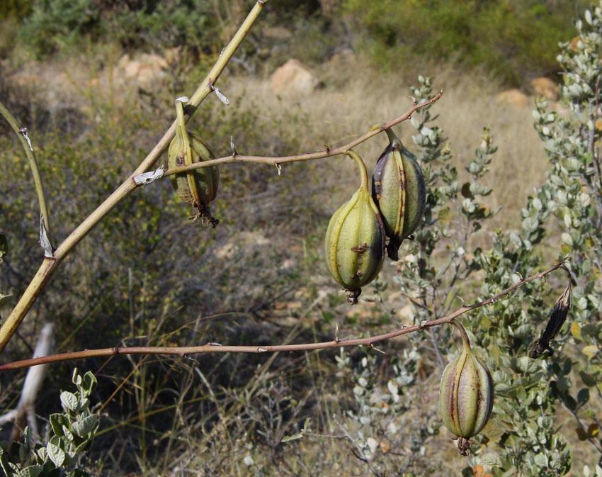 Eulophia petersii seed pods 1b by WillemSvdMerwe