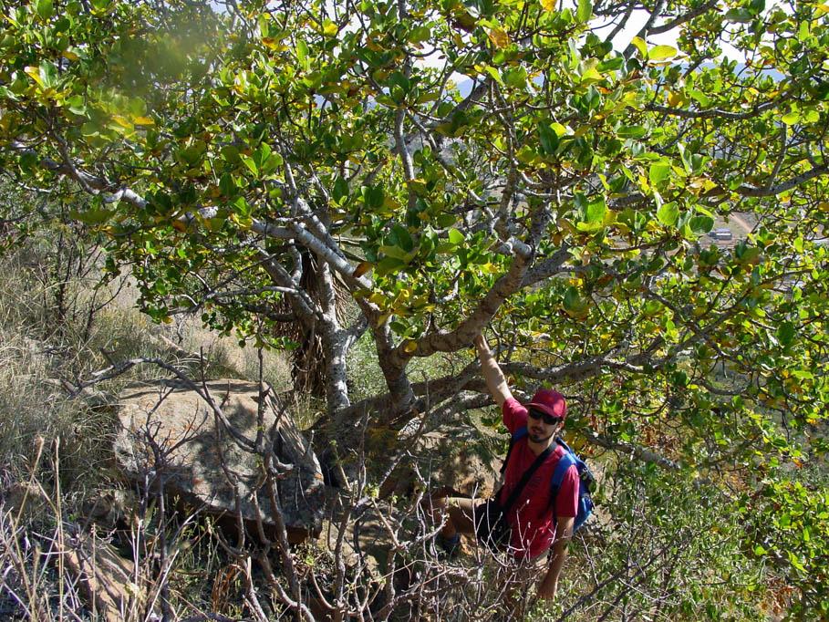 Ficus glumosa 1b by WillemSvdMerwe