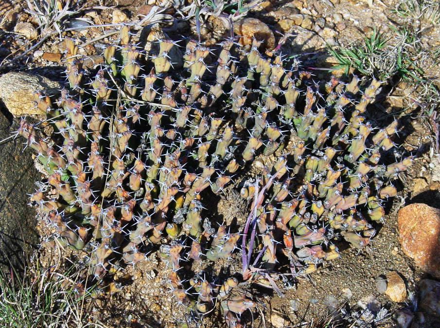 Euphorbia schinzii 1b by WillemSvdMerwe
