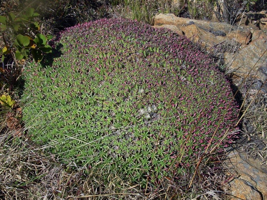 Euphorbia pulvinata 1b by WillemSvdMerwe