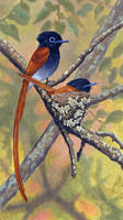 African Paradise Flycatchers