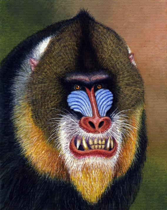 Résultats de recherche d'images pour «mandrill»