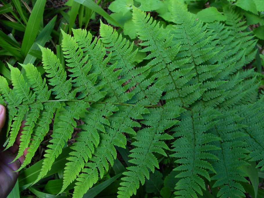 Dryopteris maybe 1b by WillemSvdMerwe