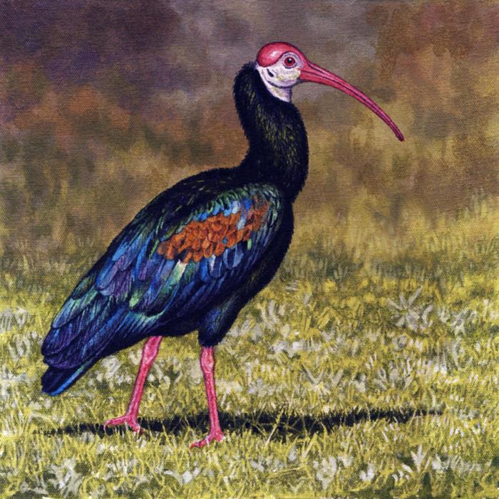 Bald Ibis by WillemSvdMerwe