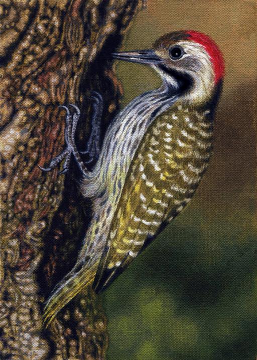 Cardinal Woodpecker by WillemSvdMerwe