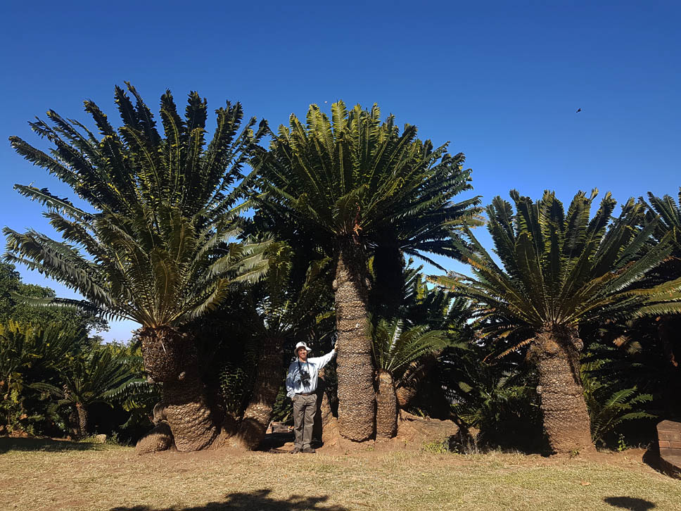 Typical Cycads b by WillemSvdMerwe