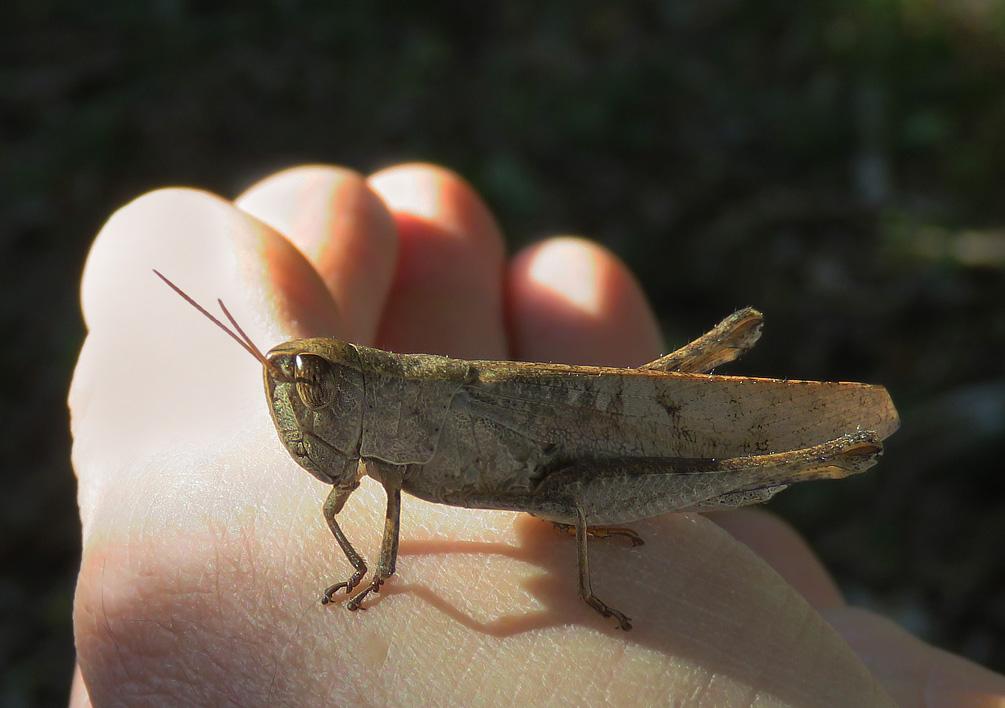 Grasshopper 3b by WillemSvdMerwe