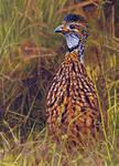 Orange River Partridge