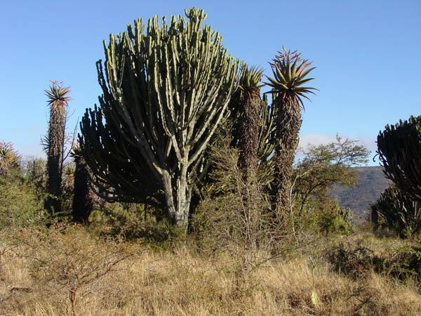 Aloe Euphorbia landscape by WillemSvdMerwe
