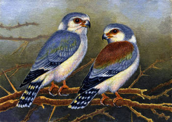 Pygmy Falcons by WillemSvdMerwe