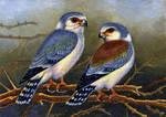 Pygmy Falcons
