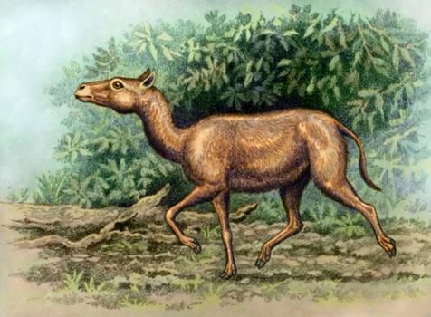 Protylopus petersoni