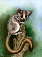Mouse Lemur by WillemSvdMerwe
