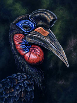 Northern (or Abyssinian) Ground Hornbill