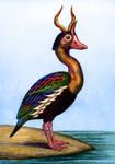 Horned Duck