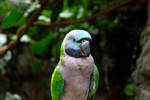 Female Derbyan Parakeet