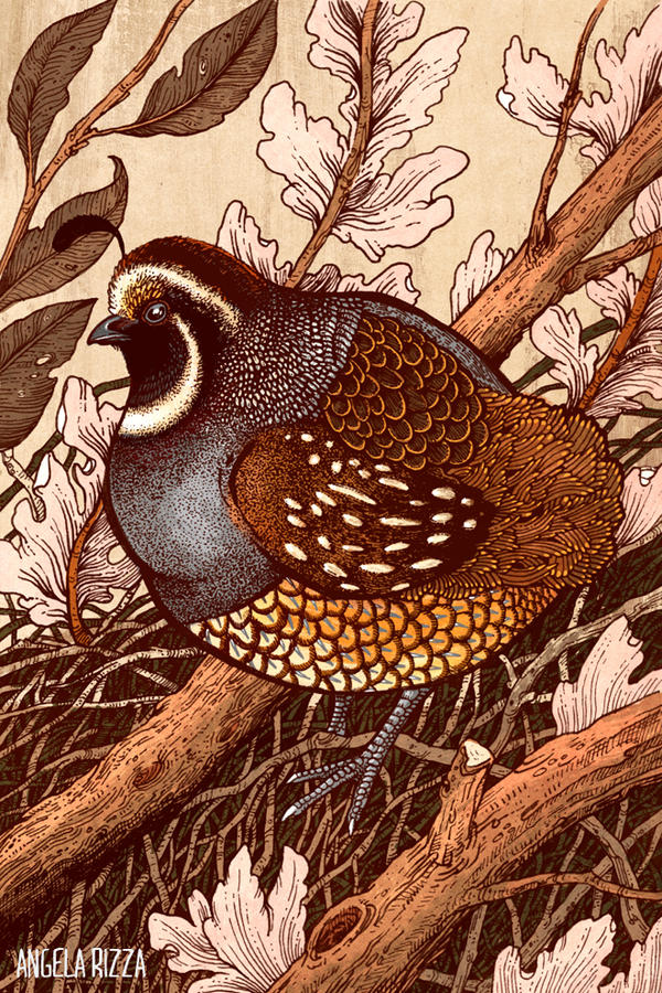 Little Quail by AngelaRizza