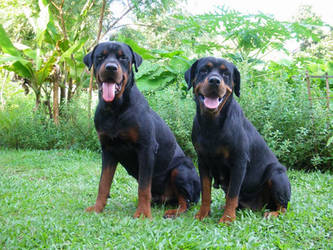 Happy Rottweilers by k8tty