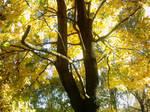 The Autumn Gold 15