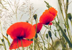 Poppies will bloom again...