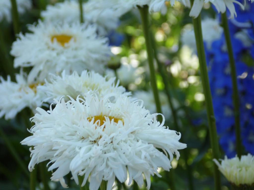 3 double daisies by tabikittie on deviantart 3 double daisies by tabikittie izmirmasajfo Image collections