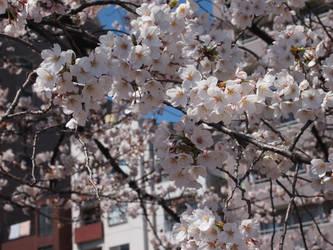sakura by seitensei