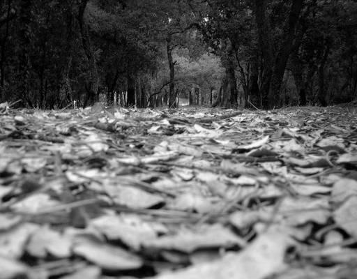RF series: Leaves in summer BW