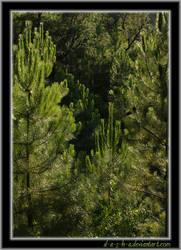 Sunny Pine Tree