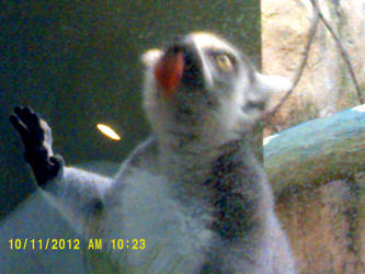 LEMUR. GO HOME. YOU ARE DRUNK. by MsBaconator