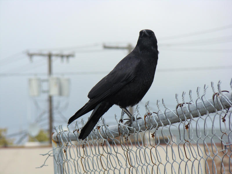 crow by Flyboy008