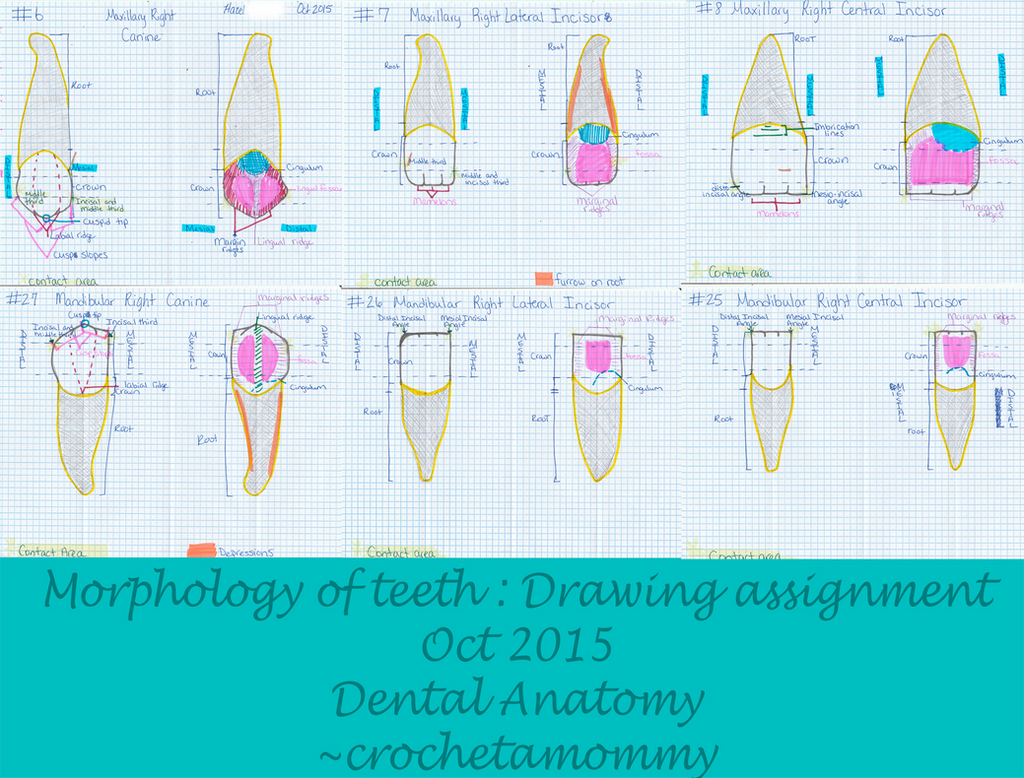Drawing assignment- Morphology Anterior teeth by crochetamommy on ...
