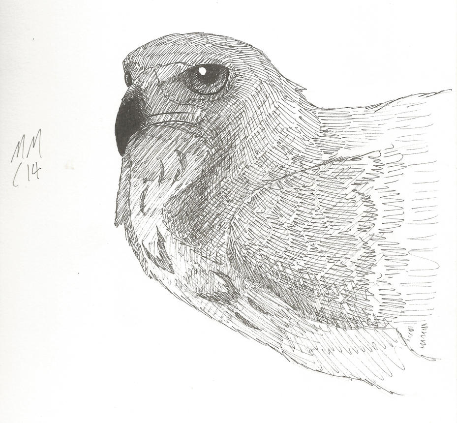 Hawk study by Martywarlock