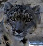 .Snow Leopard.
