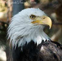 Eagle by h3llzcupcake