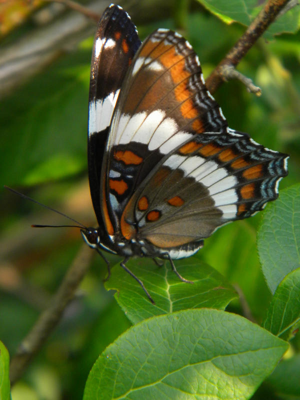 The White Admiral by Smithx7000