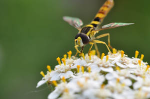 Hoverfly by wrd83