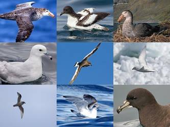 Petrels of Antarctica