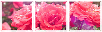 [F2U] Divider Roses