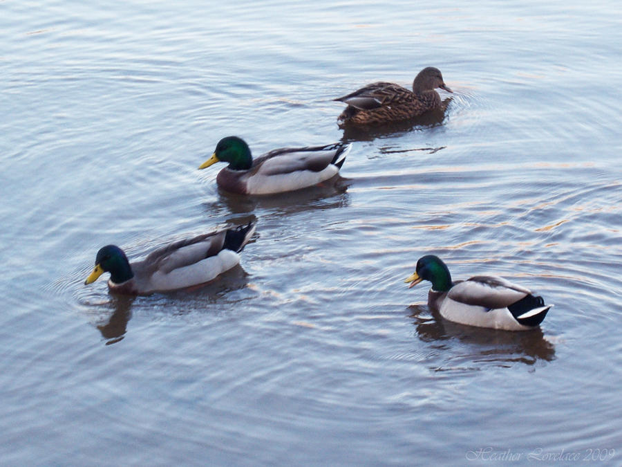 Floating Ducks 2nd take by t3hsilentone on DeviantArt